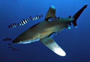 акула с рыбами